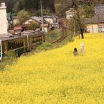 三島町の菜の花畑